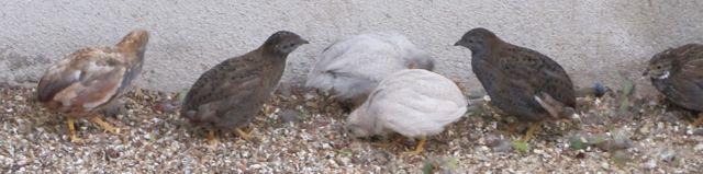 Oiseau Club De Saran Ocs